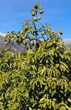 Chilean Avocado Tree,Pucara International