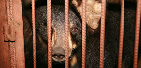 Cruel Bear Bile Industry Thrives Despite Pandemic Risks